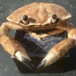 Crab by Gail Dooley